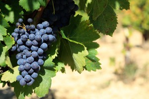 Red wine grapes growing in a vineyard in southern France.  Space for copy on right.
